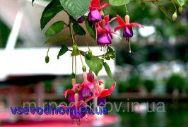 Семена цветов бонсай