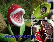 Lithops дионея - цветок пожиратель мух