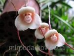 Семена орхидеи -
