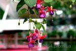 Семена цветов фонарь фуксия